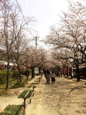 桜を見に秋月へ
