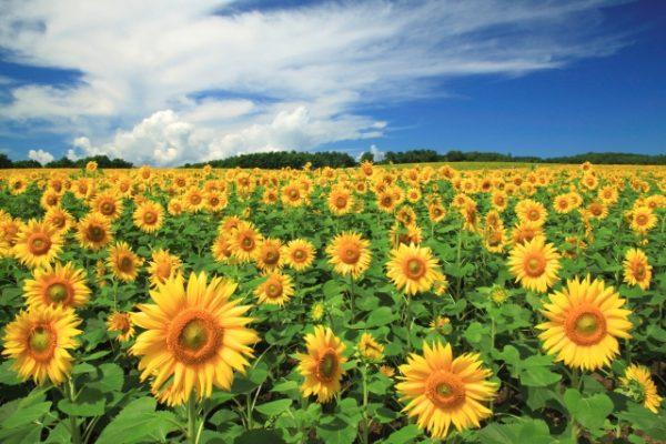 向日葵、砂丘